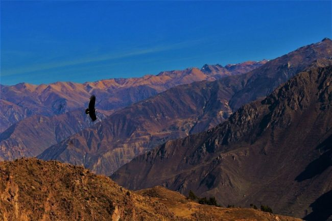 Condor at Colca Canyon Peru