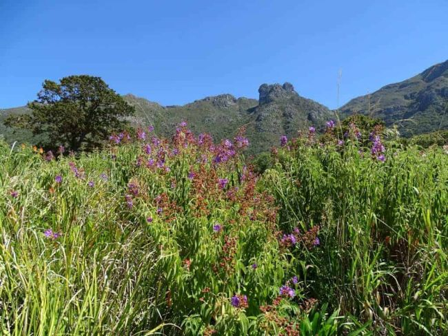 Kirstenbosch - Solo Female Travel in South Africa - Flowers and greenery with hills behind